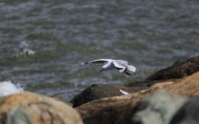 Picture sea, water, stones, bird, Seagull, flight, boulders