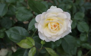 Picture leaves, rose, white