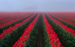Picture field, fog, tulips