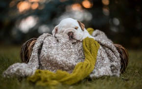 Picture white, grass, light, nature, pose, comfort, glare, the dark background, glade, sleep, dog, the evening, …