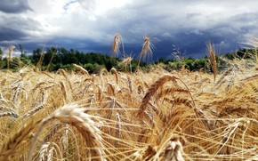 Picture field, summer, the sky, clouds, spikelets