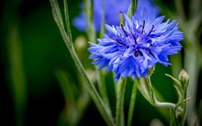 Picture macro, blue, stems, Cornflower