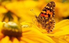 Picture macro, flowers, nature, butterfly, yellow, garden, insect, bokeh, rudbeckia