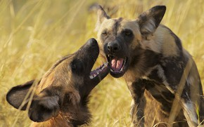 Picture look, face, pose, two, portrait, mouth, pair, hyena, muzzle, the expression, hyenas