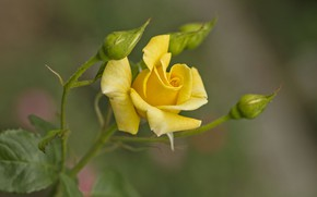 Picture rose, Bush, buds, yellow