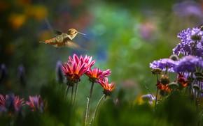 Picture flowers, nature, Hummingbird, flight, bird, Thai Phung