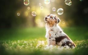 Picture dog, bubbles, puppy, bokeh, doggie, Australian shepherd, Aussie