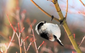 Picture branches, nature, bird, titmouse, long-tailed tit