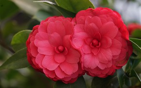 Picture macro, Duo, red, scarlet, Camellia