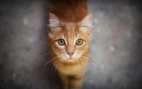 Picture cat, look, red