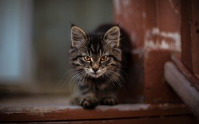 Picture muzzle, step, Maine Coon, tabby kitten