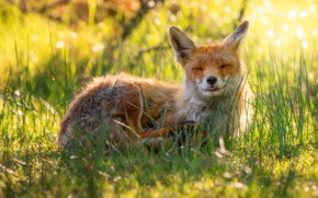 Picture language, summer, grass, look, face, light, nature, pose, background, stay, glade, Fox, lies, red, Fox, …