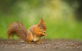 Picture nature, squirrel, animal, rodent