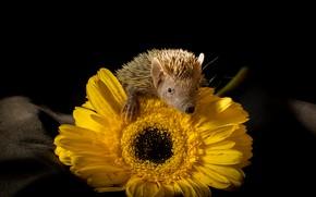 Picture flower, look, light, yellow, pose, hedgehog, black background, hedgehog, gerbera, hedgehog, hedgehog