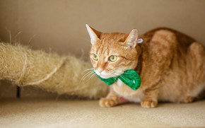 Picture cat, cat, look, green, background, red, muzzle, cute, bow, bow, scratching post