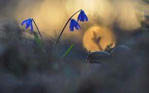 Picture flower, macro, nature, snail, primrose, bokeh, Makeev Alexey