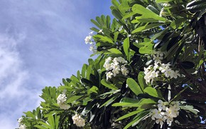 Picture the sky, leaves, flowers, plumeria
