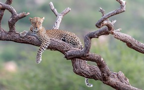Picture background, stay, leopard, snag, wild cat, bokeh