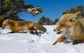 Picture winter, face, snow, trees, nature, blue, running, Fox, race, Fox