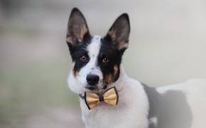 Picture background, each, puppy, bow