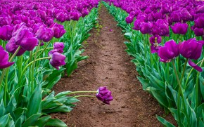 Picture greens, field, leaves, drops, bright, spring, purple, tulips, buds, path, field of tulips, lilac, the …