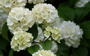 Picture branch, flowering, Kalina