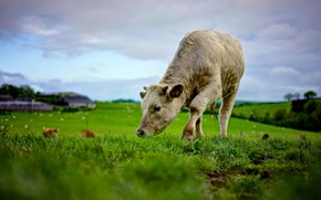 Wallpaper landscape, grass, the sky, summer, meadow, calf, white, pasture, nature, cow, young, field, greens, bull, ...