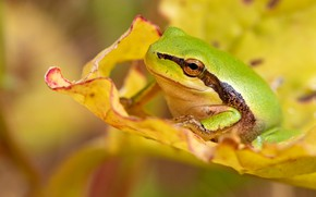 Picture macro, yellow, leaf, frog, green