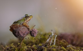 Picture greens, grass, macro, Rosa, frog