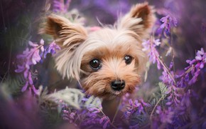 Picture look, flowers, portrait, dog, puppy, face, brown, decorative, shaggy