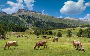 Picture greens, mountains, cows, Alps, pasture, the herd
