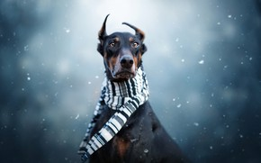 Picture winter, look, face, snow, portrait, dog, scarf, black, serious, ears, snowfall, blue background, dog, Doberman