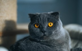 Picture cat, cat, look, face, pose, grey, portrait, lies, British, yellow eyes