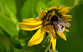 Picture flower, summer, leaves, macro, yellow, sunflower, petals, insect, bumblebee, green background, sunflower