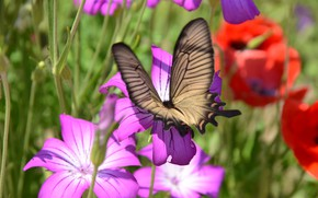 Picture flowers, butterfly, blur, insect