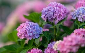 Picture flowers, Bush, flowering, inflorescence, lilac, bokeh, hydrangea