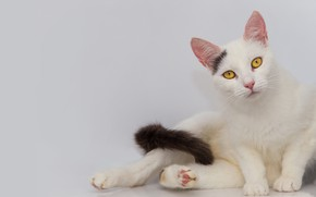 Picture cat, cat, look, face, pose, paws, tail, white, sitting, light background, yellow eyes
