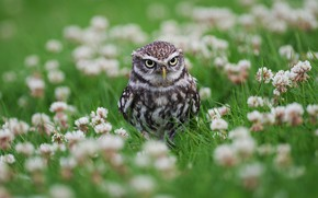Picture summer, look, flowers, owl, bird, glade, spring, clover, owl