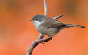 Picture bird, branch, bird, Warbler