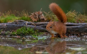 Picture look, reflection, protein, red, log, pond, squirrel
