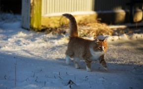 Picture winter, cat, look, light, snow, pose, kitty, background, fluffy, red, walk, kitty