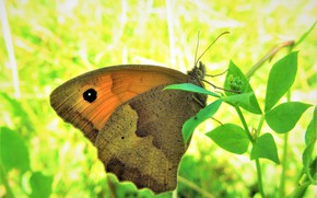 Picture macro, nature, butterfly