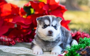 Picture red, pose, background, dog, baby, puppy, fabric, lies, tinsel, face, husky, Siberian husky