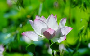 Picture greens, white, flower, grass, leaves, light, bright, nature, green, background, Bud, Lotus, bokeh, blurred, pink …