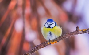 Picture bird, branch, bokeh, tit, Blue tit