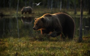 Picture forest, grass, trees, lake, reflection, bird, shore, glade, bear, bears, pair, walk, two, pond, two …
