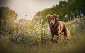 Picture field, summer, flowers, nature, dog, meadow, walk, the border collie