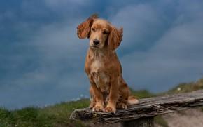 Picture cute, puppy, Spaniel
