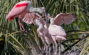 Picture birds, socket, Chicks, family, roseate spoonbill