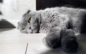 Picture grey, eyes, sun, gray, laying, scottish fold